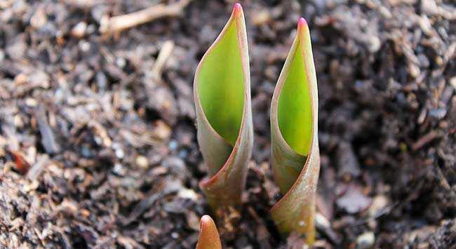 Bloembollen Planten: In Potten En De Volle Grond