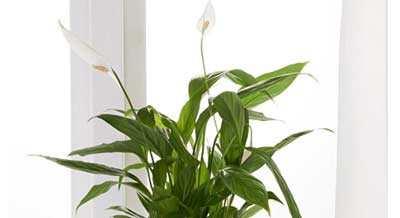 Spathiphyllum Voor In De Slaapkamer