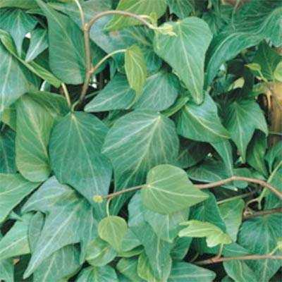 Hedera Helix - Natasja In de Tuin Planten