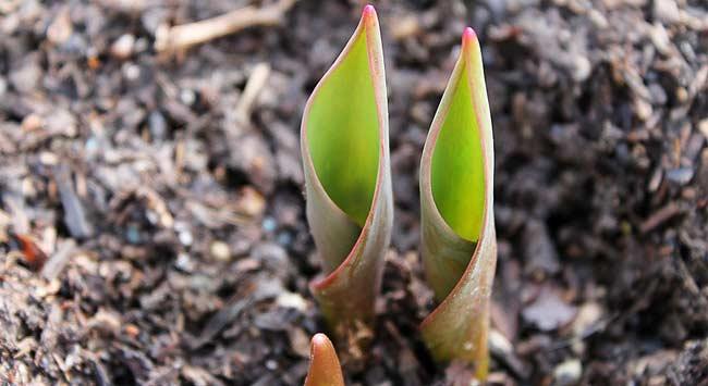 Bloembollen Planten In De Tuin En In Een Pot