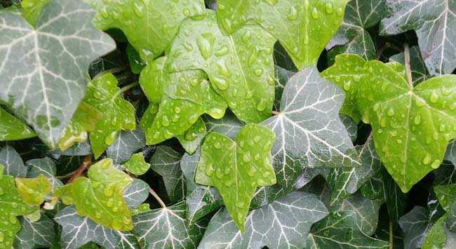 Klimop Planten Voor In De Tuin