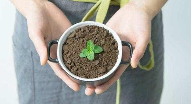 Munt Kweken In Pot