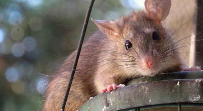 Ratten Diervriendelijk Verjagen En Voorkomen