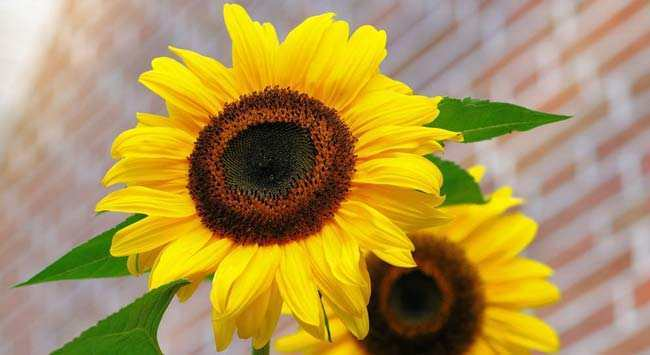 Zonnebloemen Kweken - Buiten En Binnenshuis